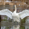 Trumpeter Swan Flapping Wings