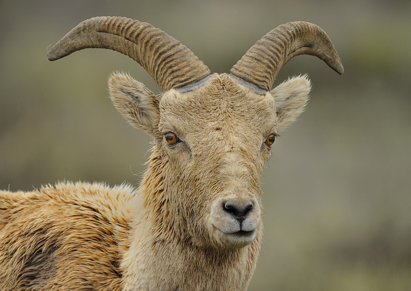 Bighorn Sheep (Ovis canadensis) in Grand Teton National Park, Wyoming