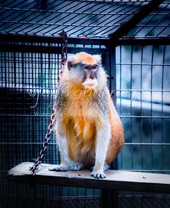 Pitas monkey