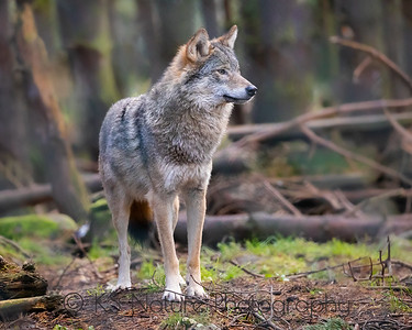Wolf on the lookout