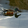 Northern Shoveler Silver Thread