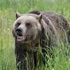 408 - Grouse Mountain Grizzly
