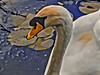 Portrait of a common mute swan