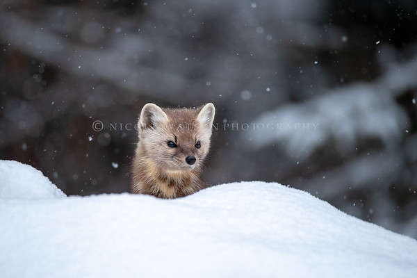 Pine Marten on a Snowy Day