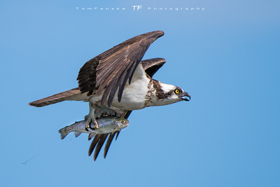 Osprey in flight with fresh caught trout