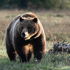 Grizzly Bear #399 - Grand Teton National Park  | Wyoming