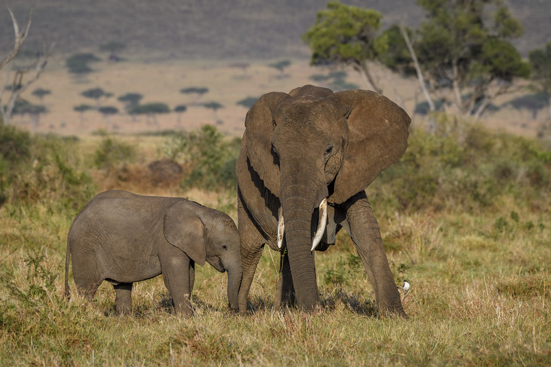 Baby elephant leaning up against its mother, Masai Mara, Kenya, East Africa