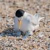 Least Tern on Eggs 6/1/16