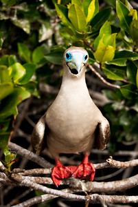 Red footed booby - Isla Genovesa