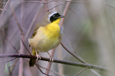 370- Common Yellowthroat Warbler