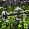 Reflexion mallards aux repos - Mallard Duck Sleeping Reflections