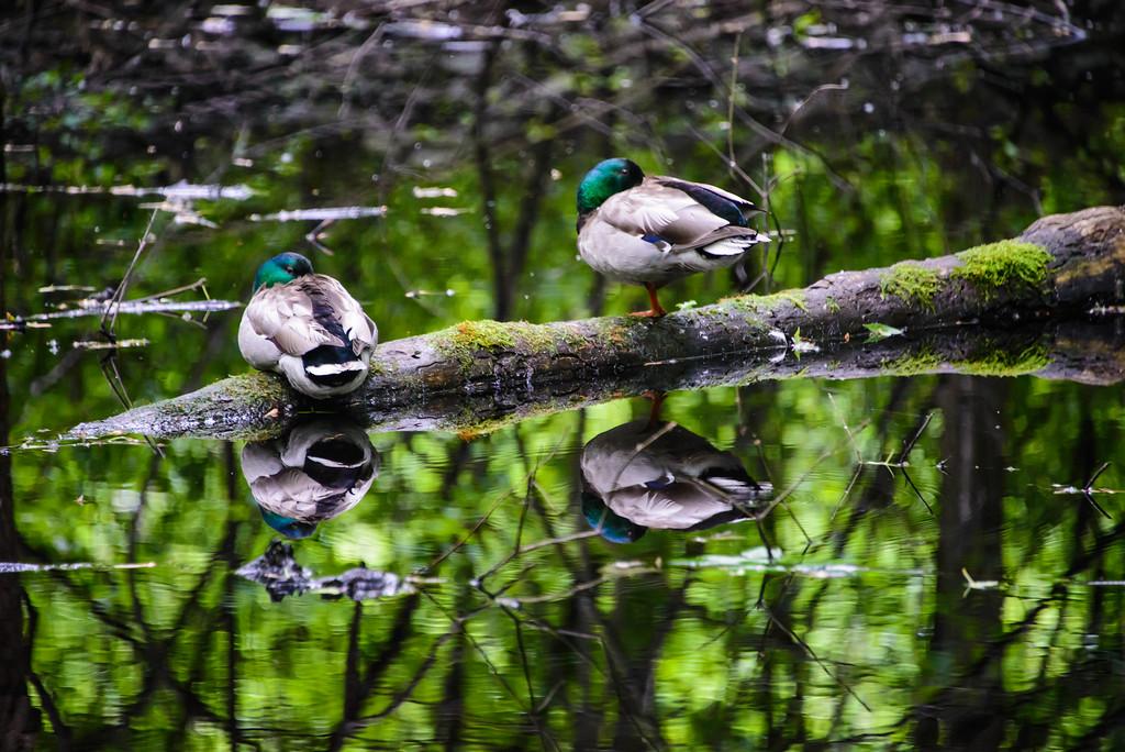 Reflexion mallards aux repos - Mallard Duck Sleeping Reflections