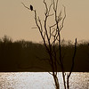 Bald Eagle at Sunrise 2/4/17