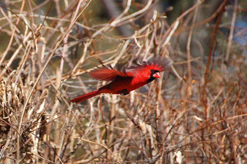 147 - Flying Cardinal, IL