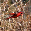 147 - Flying Cardinal, IL
