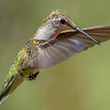 Ruby-Throated Hummingbird 8/23/16