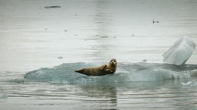 Seal,  calved ice