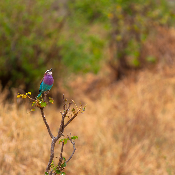 Finding a Lilac-Breasted Roller is not difficult, finding them standing still for a photograph can be.  Tanzania 2012.