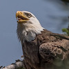 Bald Eagle Panting 5/18/17