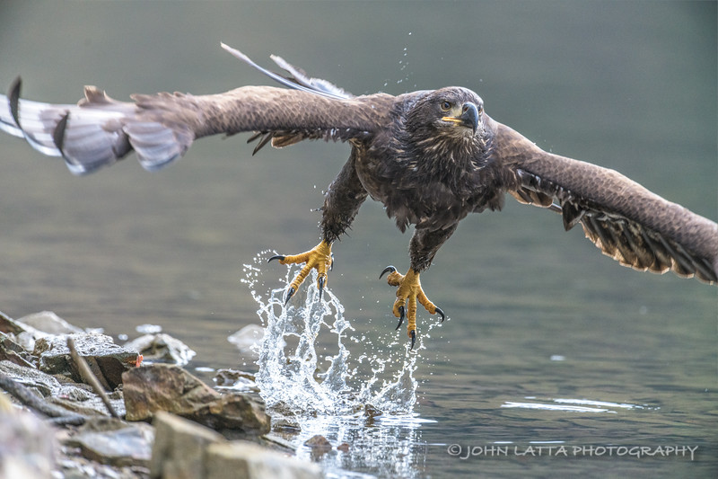 Juvenile Bald Eagle Takes Off After Eating Kokanee