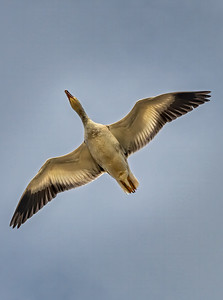 Snow Goose Above