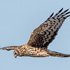 Northern Harrier 3/9/17