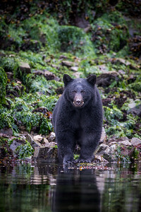 Black Bear, Great Bear Rain Forest, BC