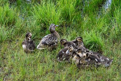 Busy Mama Duck