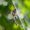 Banana Spider 8/10/16