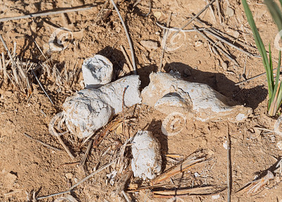 Telltale White Scat from a Striped Hyena in the Makhtesh Ramon Crater in Israel