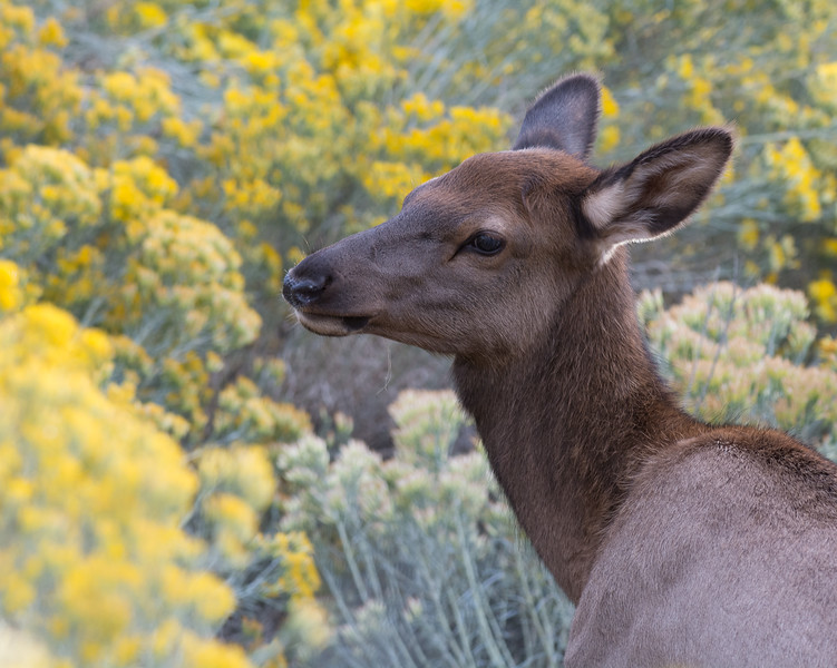 Elk Calf, Grand Canyon National Park, Arizona