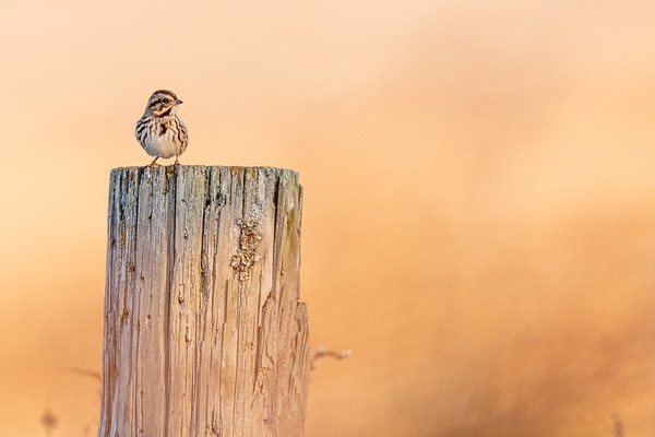 Song Sparrow at Sunrise