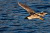 Auku'u - Hawaiian Heron