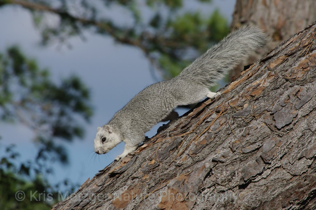 Delmarva Fox Squirrel (Sciurus niger cinereus)<br /> Endangered species<br /> Chincoteague National Wildlife Refuge, VA 11/2013
