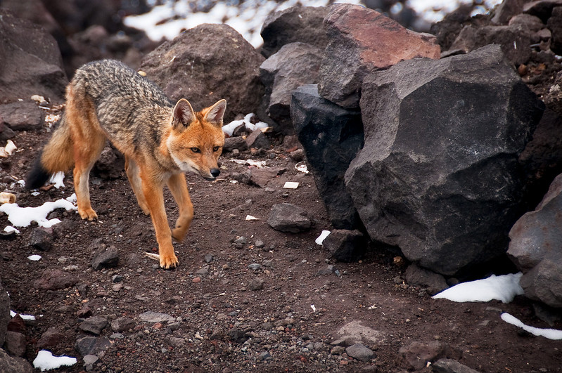 Fox at Cotopaxi