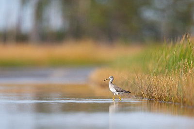 Yellowlegs In A Flooded Road