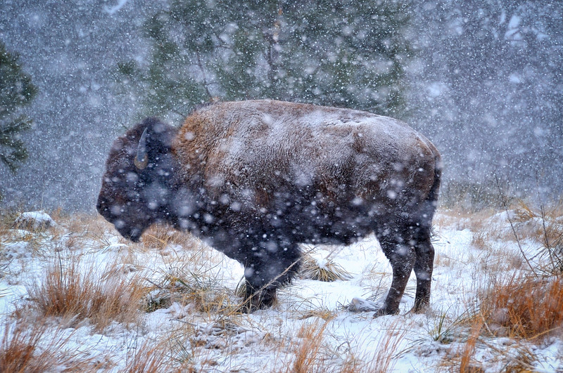 American Bison in a Blizzard at Fort Niobrara National Wildlife Refuge near Valentine, Nebraska