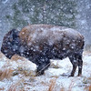 American Bison in a Blizzard near Valentine, Nebraska