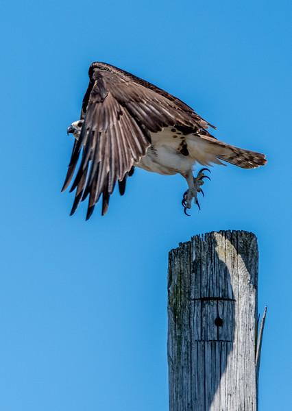 Osprey Taking Off 4/8/17