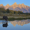 Moose Drinking at Sunrise, Schwabachers Landing, Tetons, Wyoming