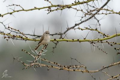 Flycatcher, African Grey (ssp. microrhynchus)
