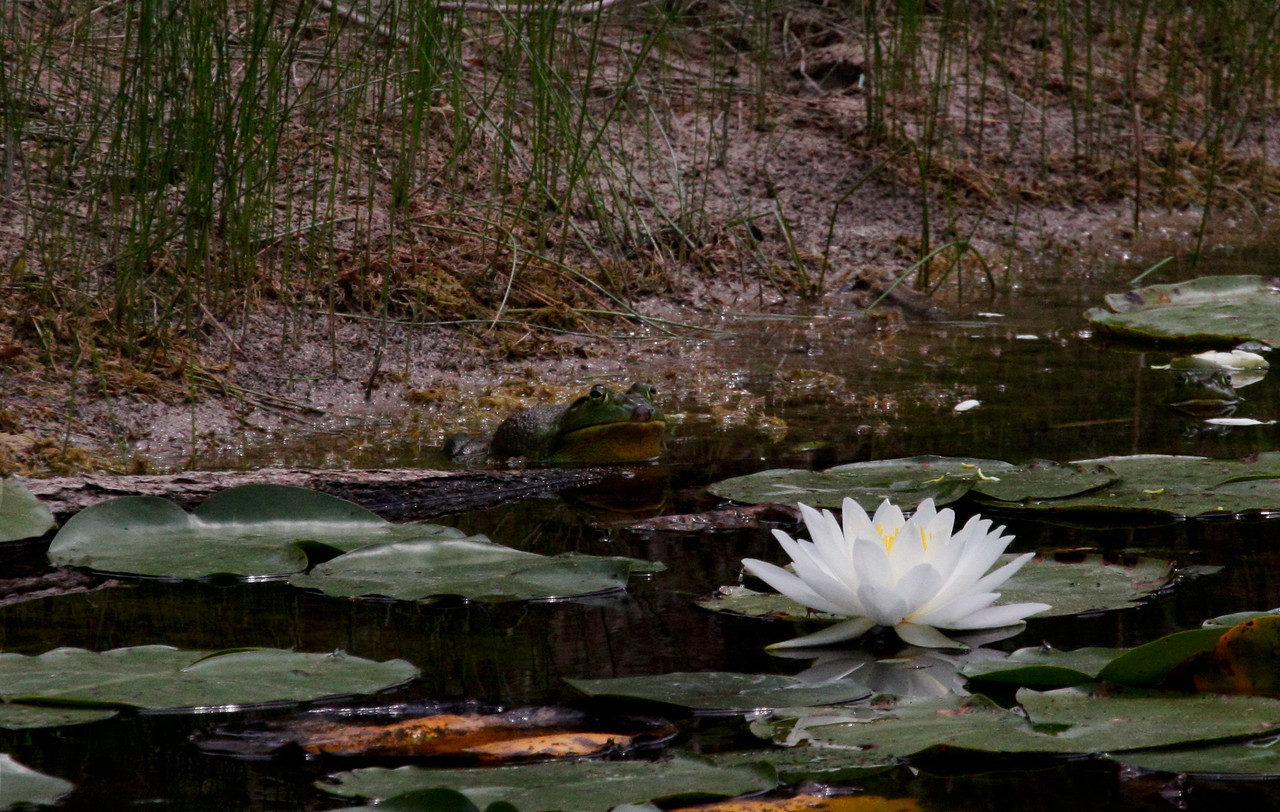Water Lilly and Bull Frong - Schlitz Audubon Nature Center