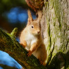 Big Ears the Red Squirrel