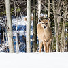 White tailed deer sticking out tongue at the photographer