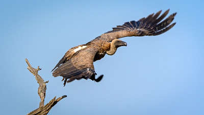 Vulture, Kruger National Park