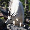 Goat, Headlight Basin, Cascades, Washington State