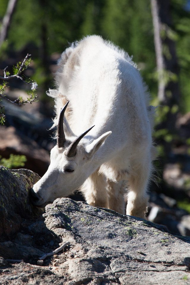 Goat, Headlight Basin, Cascades, Washington State
