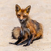 A Red Fox on the Beach in Ocean Grove 6/4/19