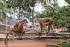 Tocque macaques