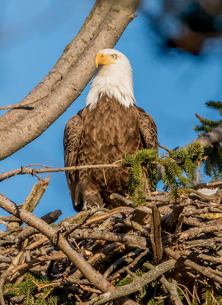 Bald Eagle In Its Nest 3/8/17